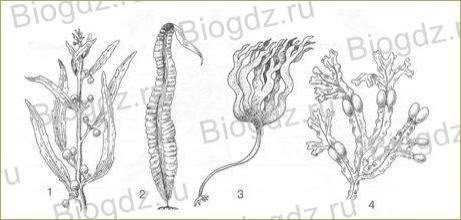 6. Часть 3. Царство Растения. Группа Водоросли (несколько отделов) - 2