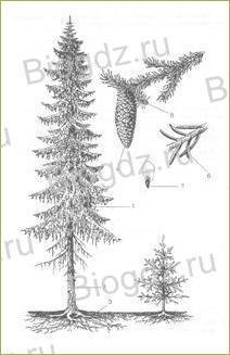 12. Отдел Голосеменные растения - 1