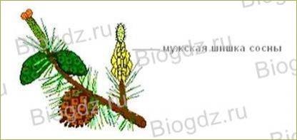 12. Отдел Голосеменные растения - 2
