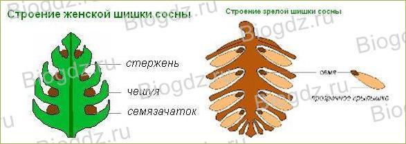 12. Отдел Голосеменные растения - 4