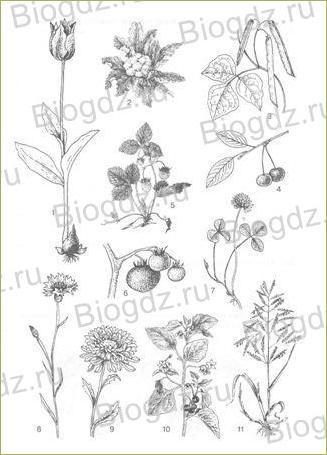 14. Отдел Покрытосеменные (Цветковые) растения - 10