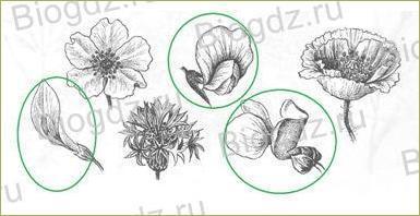 14. Отдел Покрытосеменные (Цветковые) растения - 12