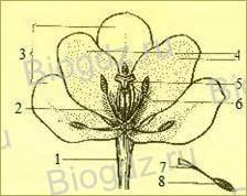 14. Отдел Покрытосеменные (Цветковые) растения - 13