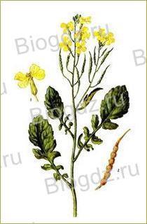14. Отдел Покрытосеменные (Цветковые) растения - 14