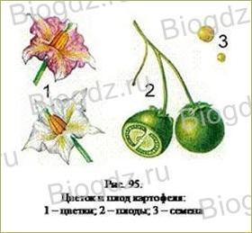 14. Отдел Покрытосеменные (Цветковые) растения - 15