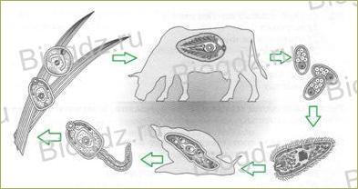 21. Тип Плоские черви - 1