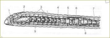 23. Тип Кольчатые черви - 2