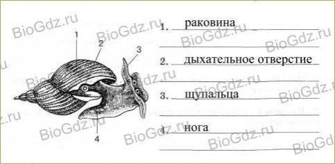 26. Тип Моллюски - 1