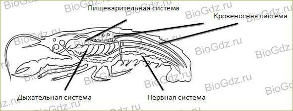 28. Тип Членистоногие. Класс Ракообразные - 3