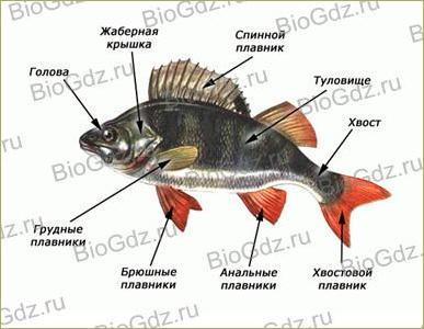 33. Тип Хордовые. Надкласс Рыбы - 1