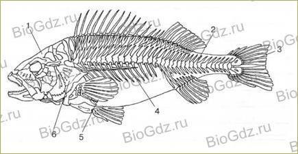 33. Тип Хордовые. Надкласс Рыбы - 3