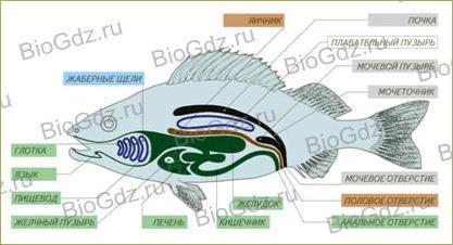 33. Тип Хордовые. Надкласс Рыбы - 4