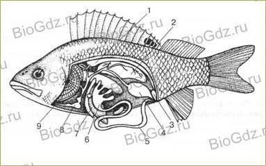 33. Тип Хордовые. Надкласс Рыбы - 6