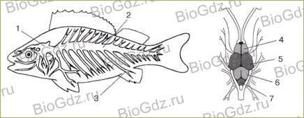 33. Тип Хордовые. Надкласс Рыбы - 7