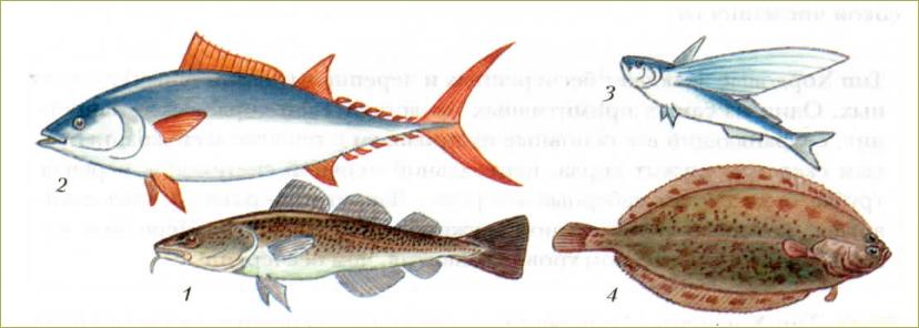 §31. Рыбы: общая характеристика и внешнее строение - 1