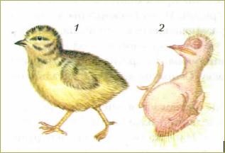 47. Размножение и развитие птиц - 1