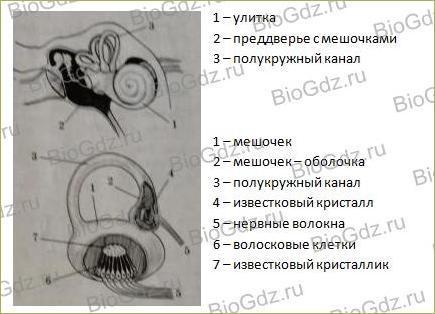 12. Анализаторы и органы чувств - 8