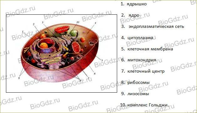 Клетка, ее строение, химический состав и жизнедеятельность - 2