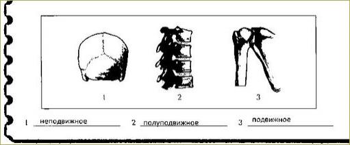 Строение и соединение костей - 2