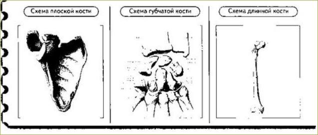 Строение и соединение костей - 7