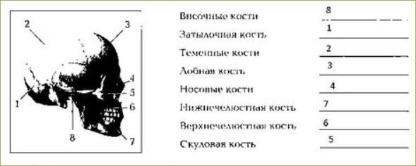 Строение и соединение костей - 8