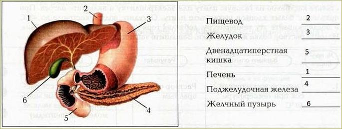 Пищеварение в кишечнике - 1