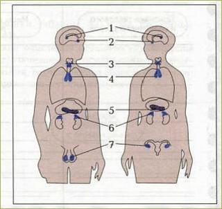 Железы внутренней, внешней и смешанной секреции - 1