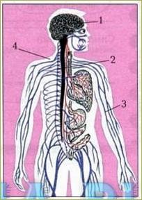 Значение, строение и функционирование нервной системы. Автономный (вегетативный) отдел нервной системы. Нейрогормональная регуляция - 5