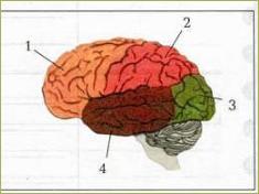 Спинной мозг. Головной мозг - 7
