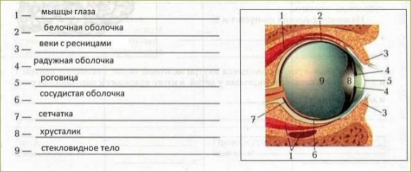 Орган зрения и зрительный анализатор - 1