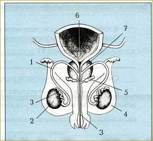 Половая система человека - 4