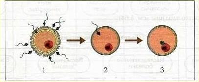 Половая система человека - 6