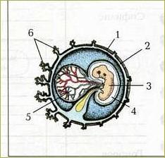 Внутриутробное развитие организма. Развитие после рождения - 1