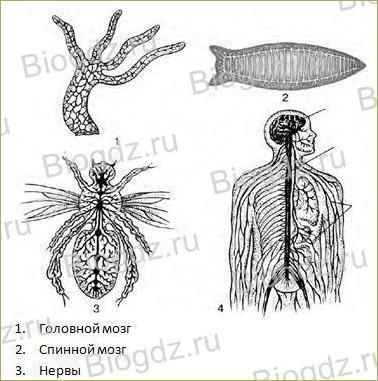 Строение и значение нервной системы - 1