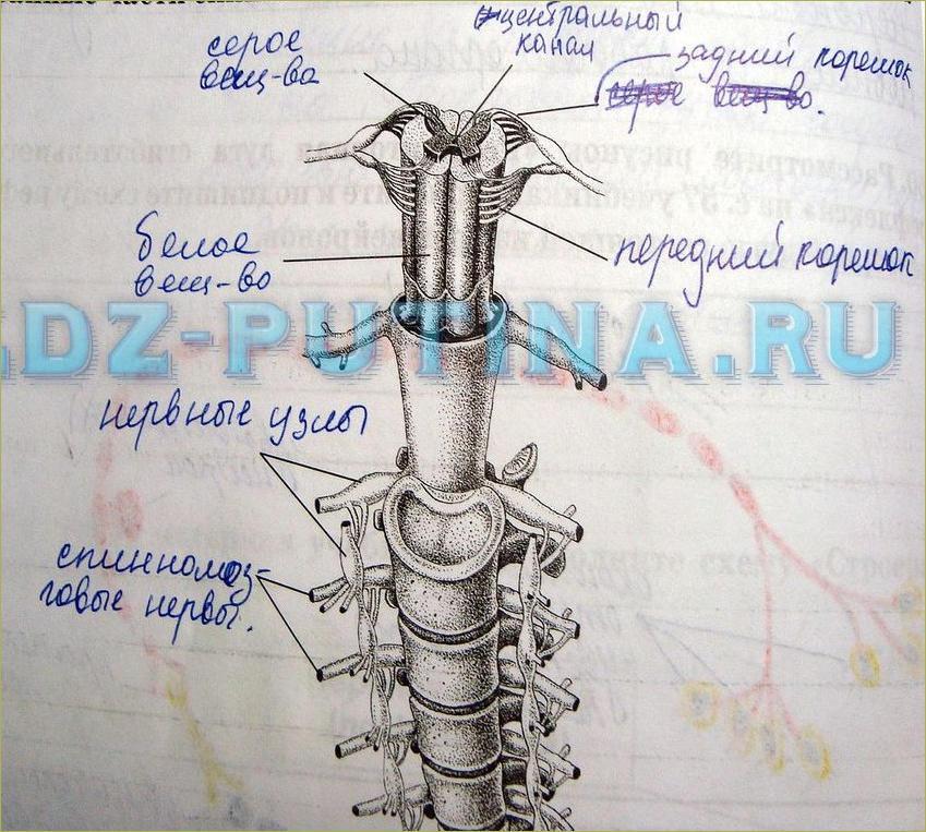 Строение и функции спинного мозга - 1