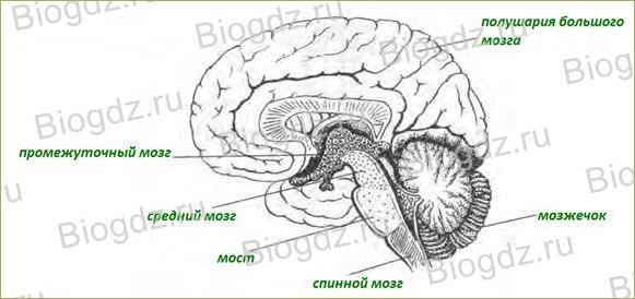 Строение и функции головного мозга - 2