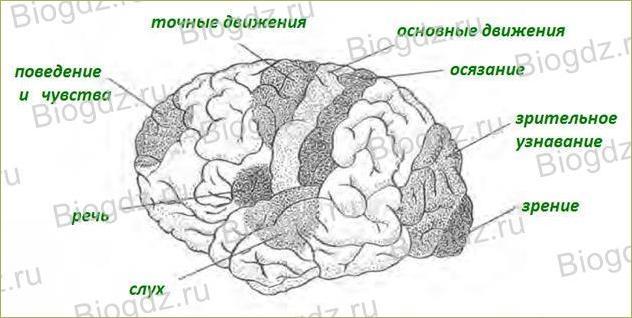 Полушария большого мозга - 2