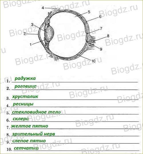 Зрительный анализатор. Строение и функции глаза - 2