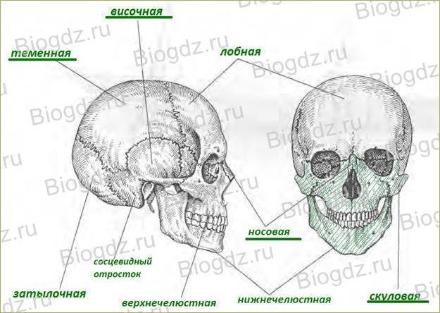 Строение скелета - 1