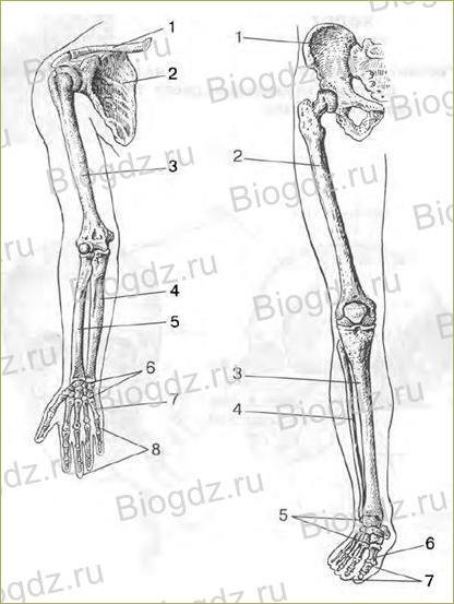 Строение скелета - 2