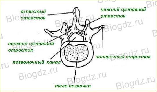 Строение скелета - 3